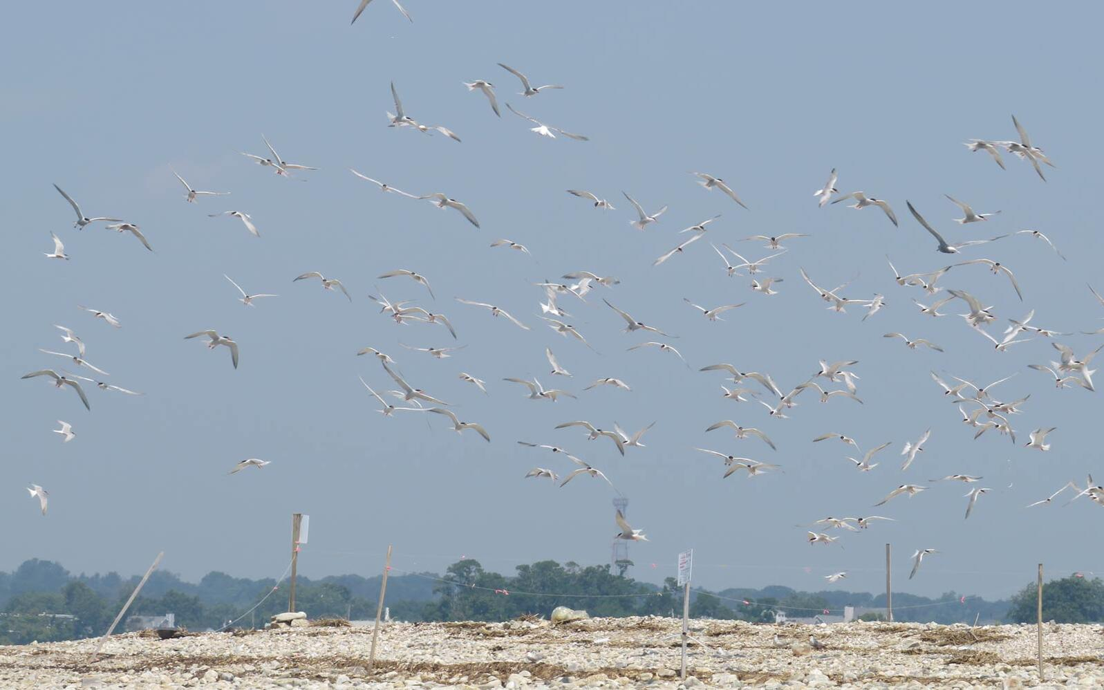 Flock of terns in flight on beach, seemingly disturbed.