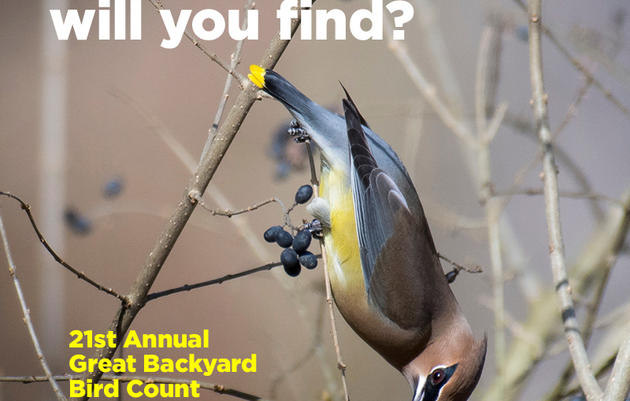 Great Backyard Bird Count Bird Walk