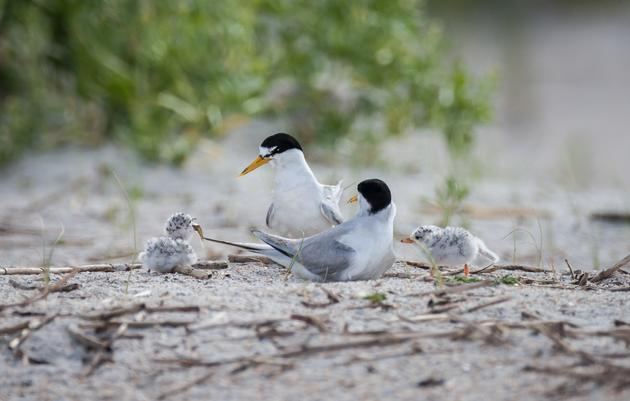 Protect Shore-Nesting Birds