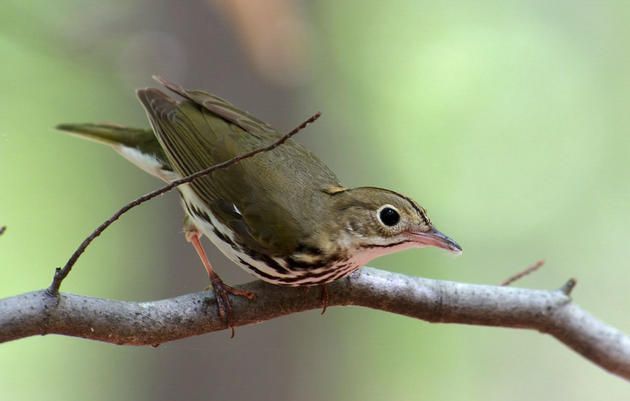 State Brief: Birds and Climate in Connecticut