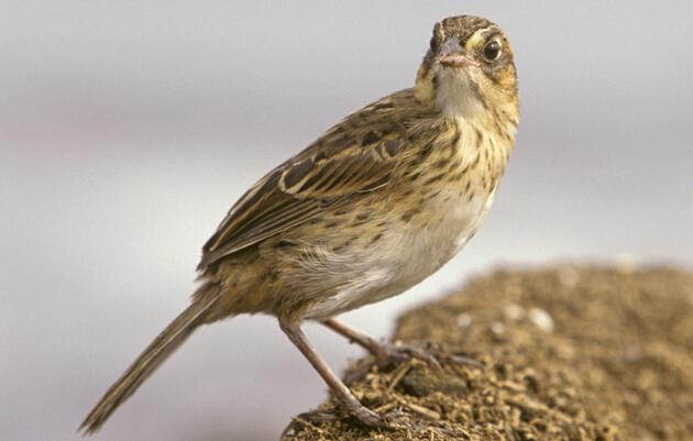 Is the Saltmarsh Sparrow Headed for Extinction?