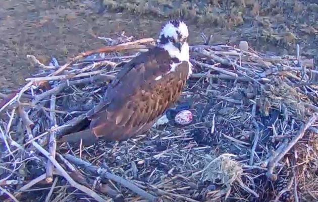 Hammonasset Osprey Cam