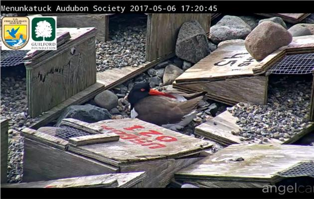 Menunkatuck Audubon Society's Live Falkner Island Cam #1
