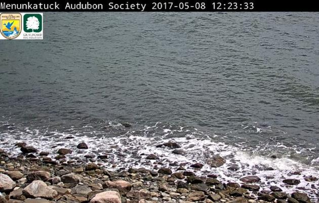 Menunkatuck Audubon Society's Live Falkner Island Cam #2