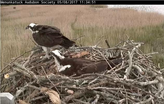 Menunkatuck Audubon Society's Live Osprey Cam
