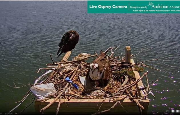 Greenwich Osprey Cam