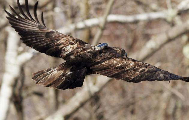 Rehabilitated Golden Eagle Released