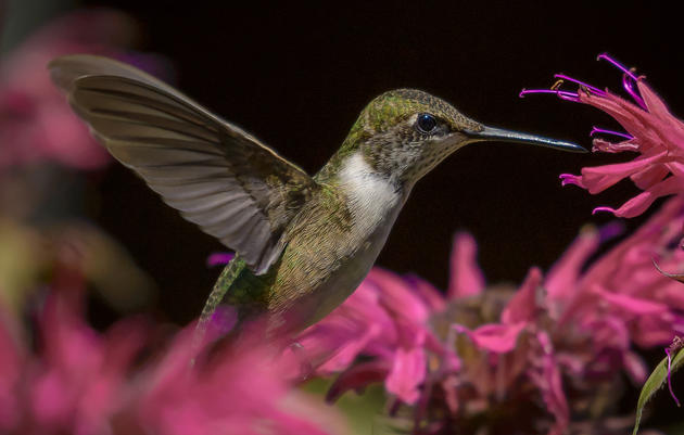 10 Terrific Plants for Hummingbirds—and Pollinators