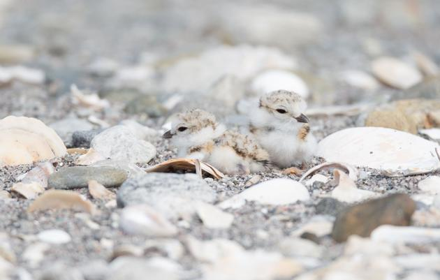 Mid-Season Update: Shorebird Nesting in a Changing World