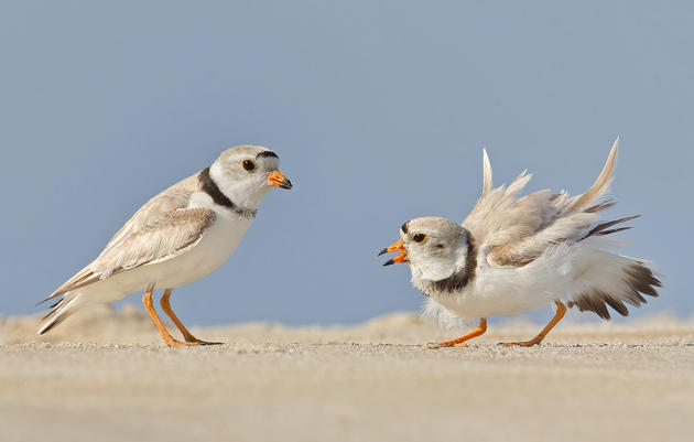 8 Ways to Help Piping Plovers