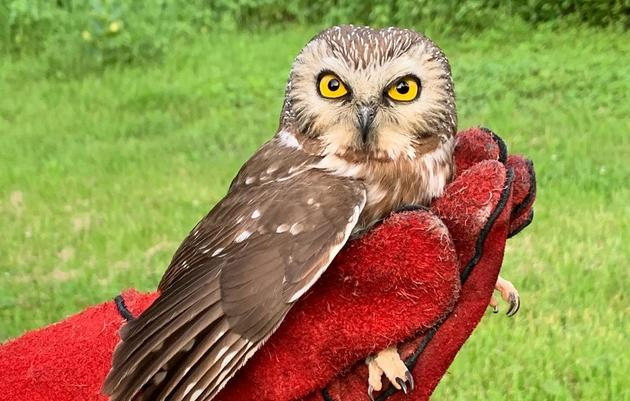 Northern Saw-whet Owl Released After Car Collision