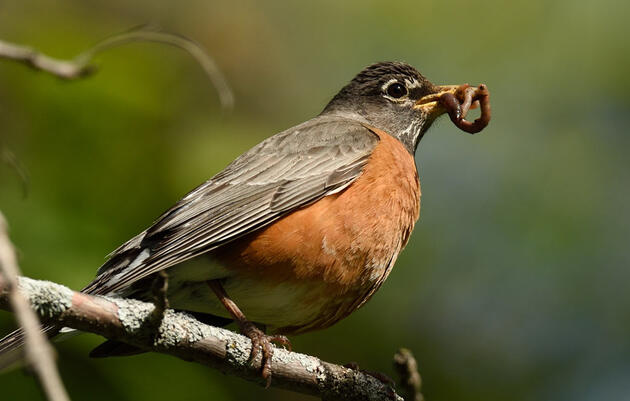 Feeding Resumes! Songbird Disease Updates