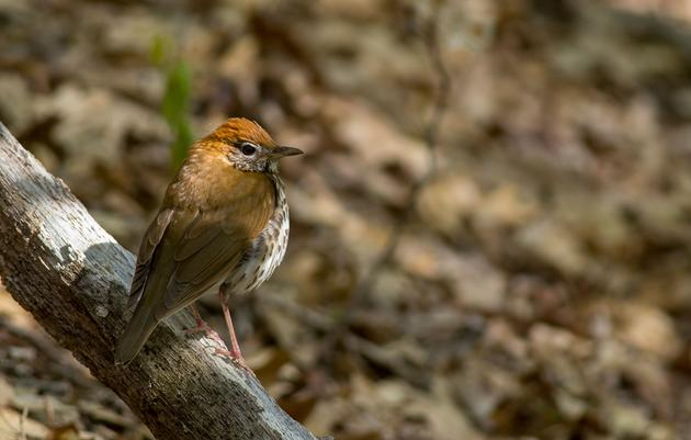 Canary in the Coalmine: Impact of Climate Change on Birds