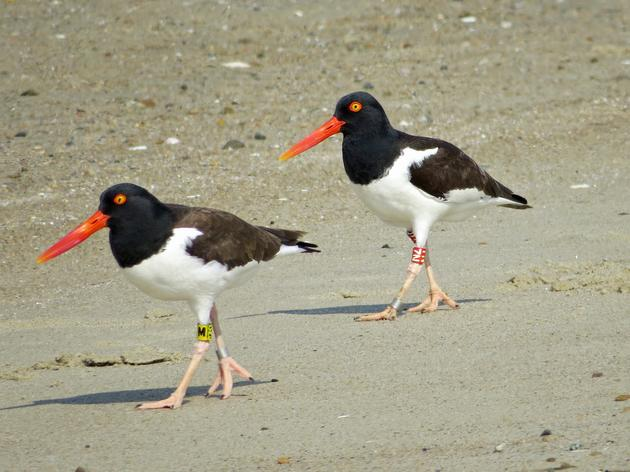 This Oystercatcher Couple Proves There's No Wrong Way to Love