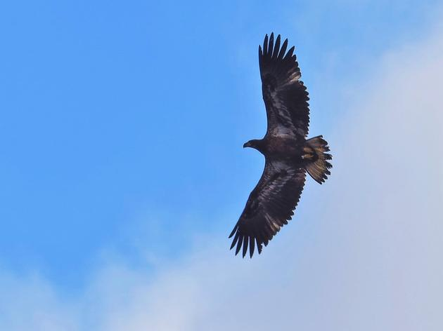 Bald Eagle Regains Strength After Likely Ingesting Toxin