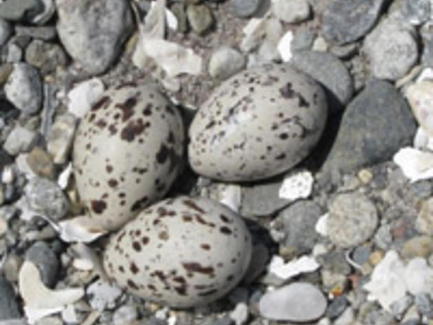 American Oystercatcher Project Takes Wing