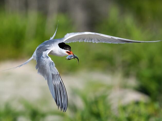 Senator Blumenthal Introduces New Legislation to Protect Tiny Fish Vital to Seabirds