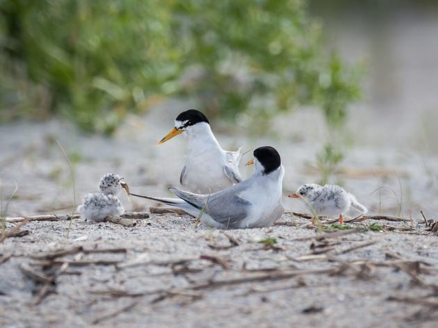 Protect Shore-Nesting Birds
