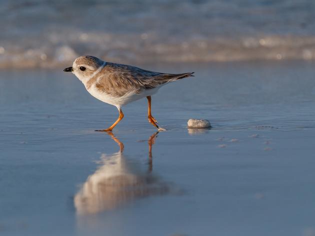 Connecticut's Audubon Alliance for Coastal Waterbirds