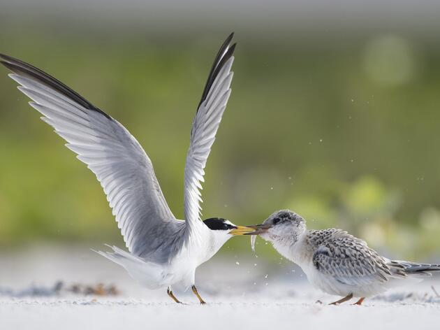 How to Practice Safe, Ethical Shorebird Photography