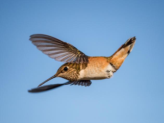 Hummingbird Flight Is Like Nothing Else in the Bird World