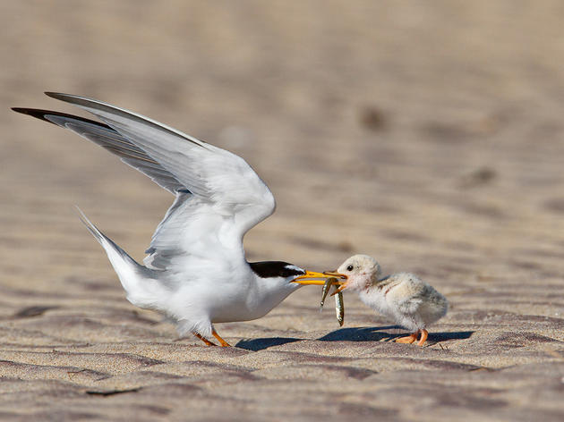 If Fish are Healthy and Plentiful, So are Long Island Sound's Birds