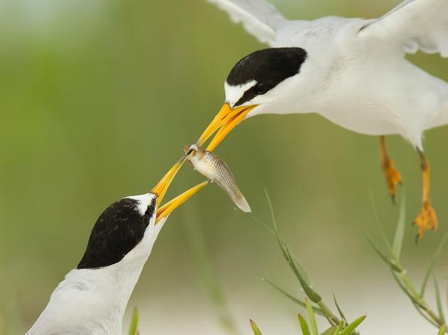 Protect Seabirds by Saving Forage Fish