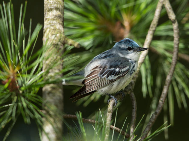 Are Cerulean Warblers Increasing in Connecticut?