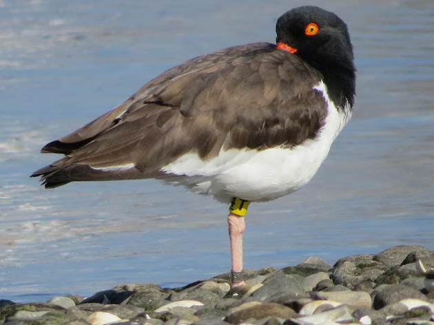 New Insights into Connecticut's American Oystercatcher Population