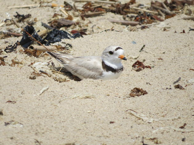 Shorebird Nesting in a Changing World