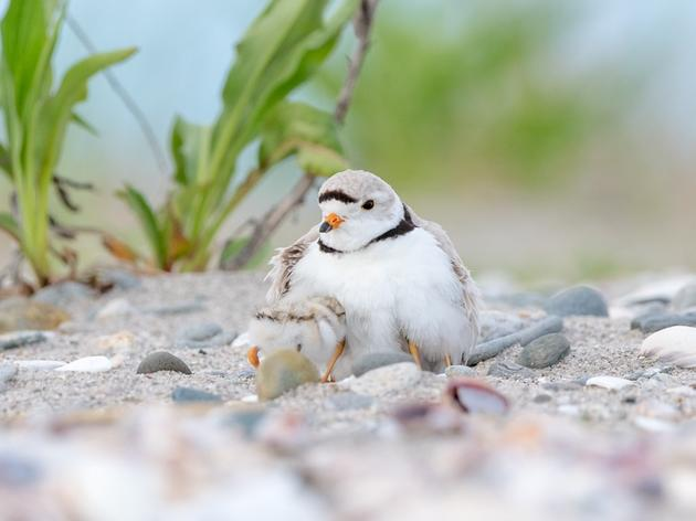 2019 Shorebird Numbers Reflect a Safer Shoreline