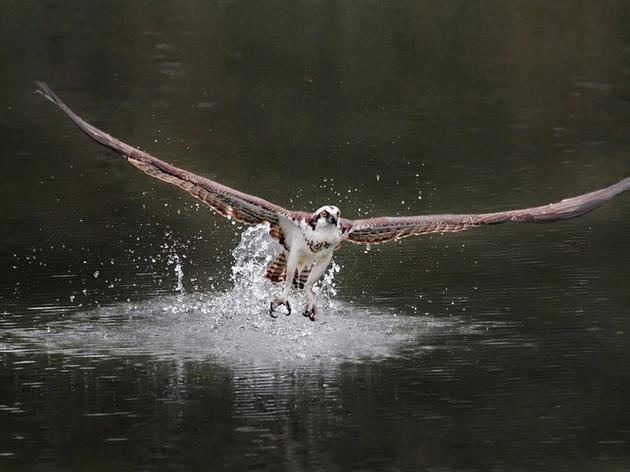 About Ospreys