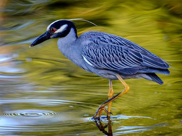 Yellow-crowned Night-Heron Cam