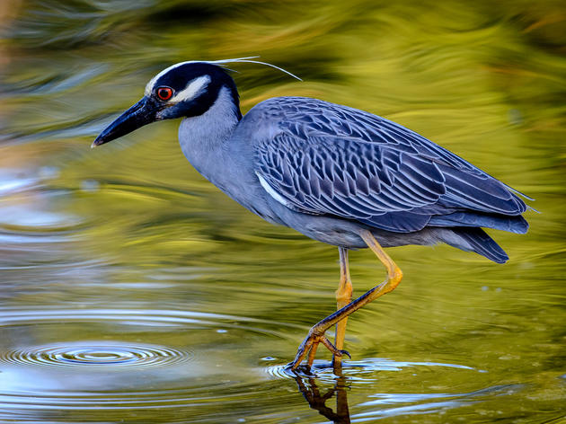 Yellow-crowned Night-Heron Cam