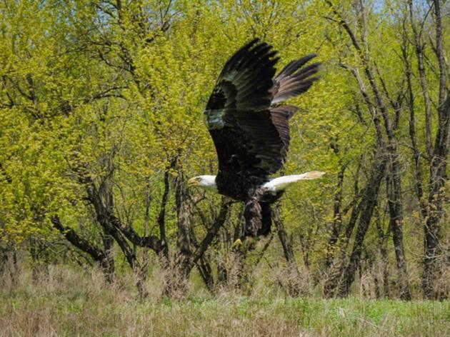 Bald Eagle Saved by Audubon Sharon