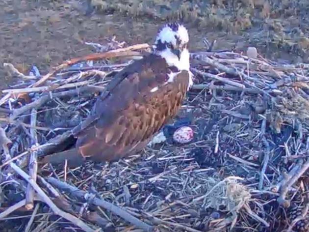 Menunkatuck Audubon Society's Hammonasset Osprey Cam