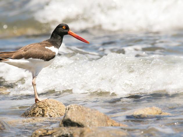 Coastal Waterbird Stewardship Program