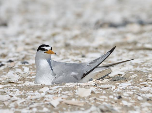 String Fencing Volunteers Make Beaches Safer for Nesting Birds
