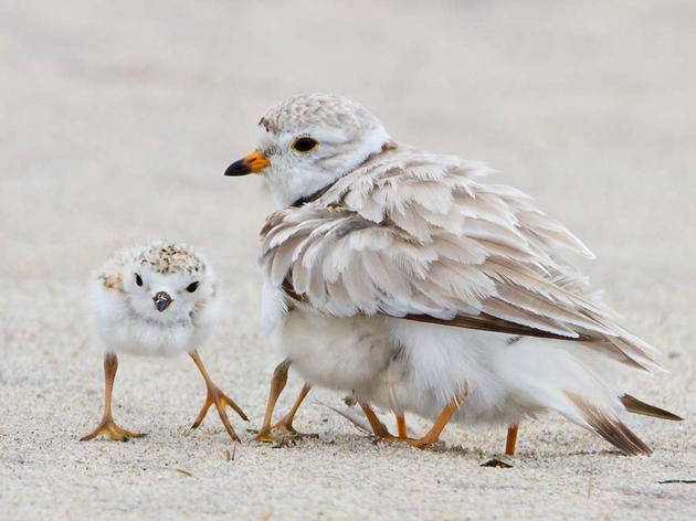 Hurricane Matthew May Have Decimated Piping Plover Population