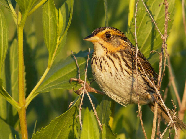 Is the Saltmarsh Sparrow Headed for Extinction?