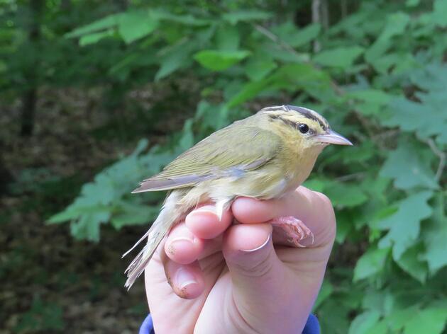 Bird Banding Confirms Forest Habitat Needs