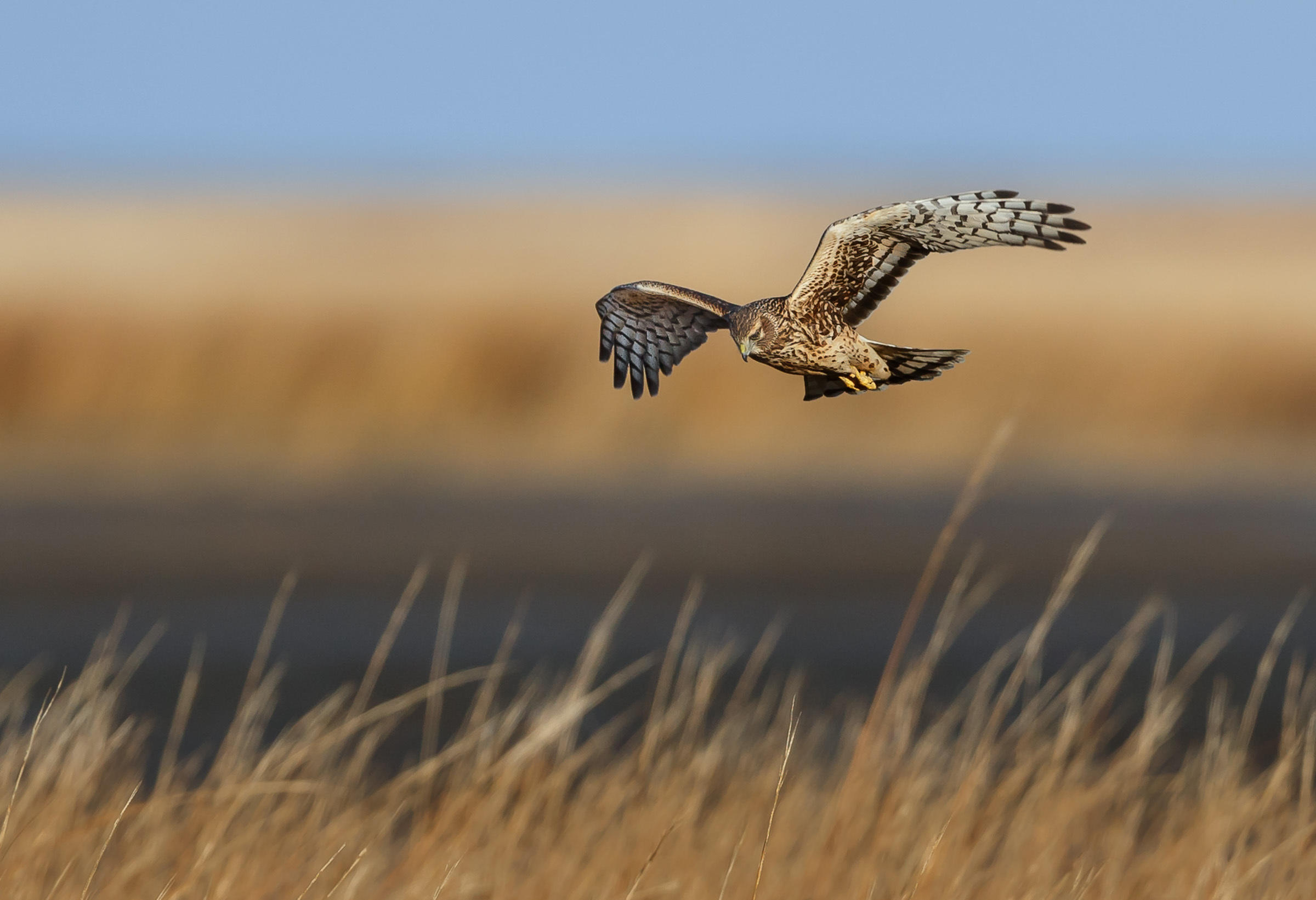 Northern Harrier by Jerry amEnde / Audubon Photography Awards