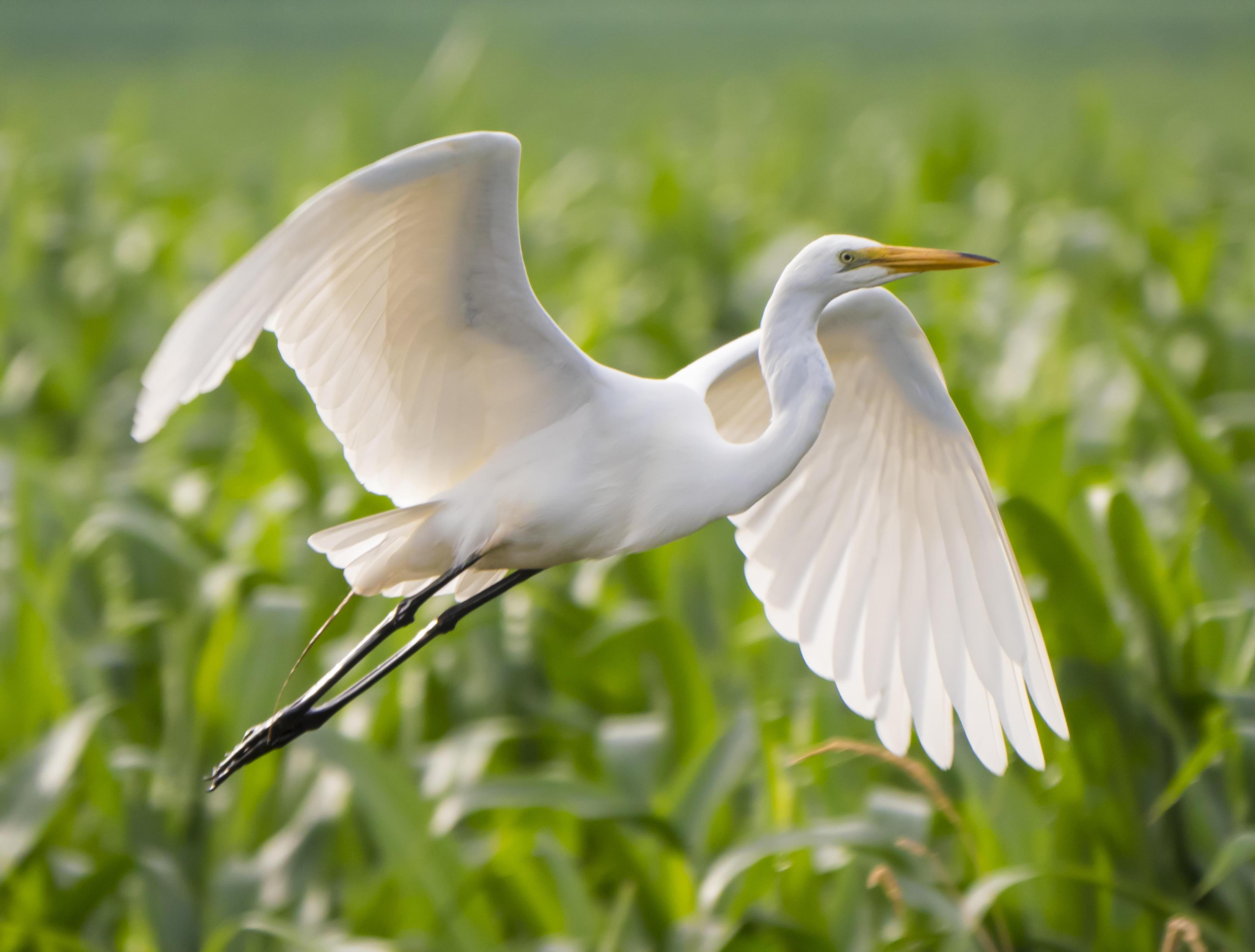 Great Egret. Photo: Gregory Seitz / Audubon Photography Awards