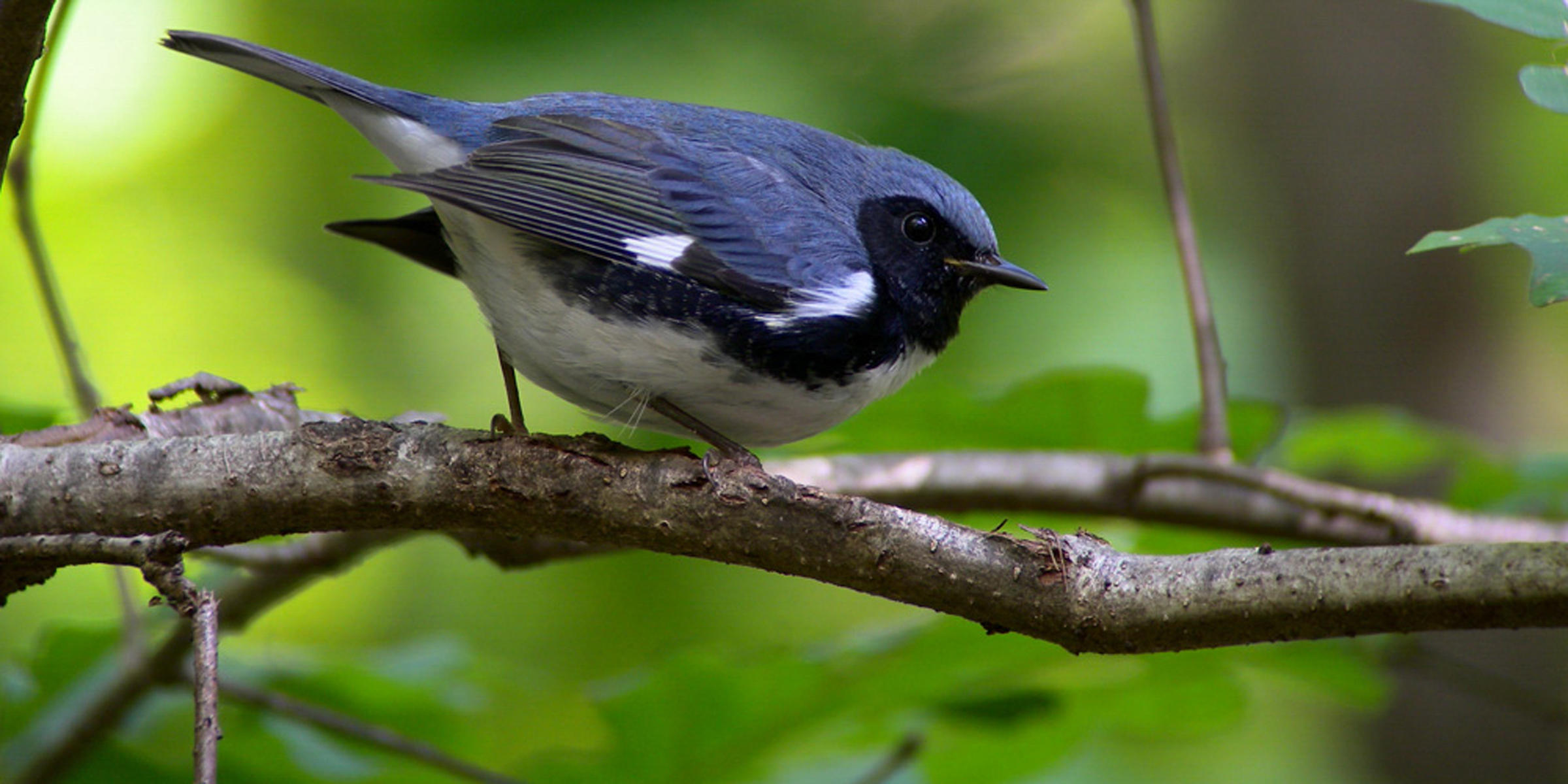 Black-throated Blue Warbler by Megumi Aita