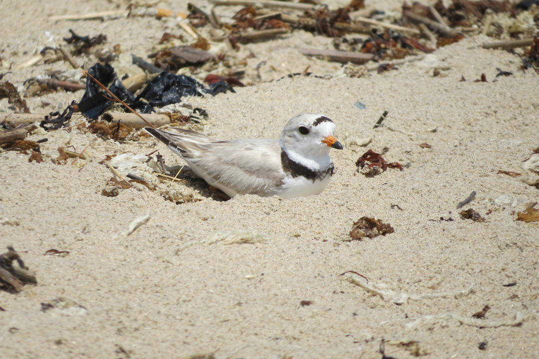 "A Piping Plover rests on its nest or ""scrape"" directly in the sand. When people or off-leash dogs get too close, the bird could be scared away from its eggs and/or chicks."